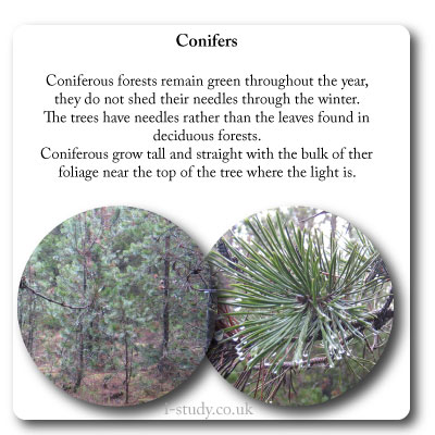 temperate forests coniferous trees