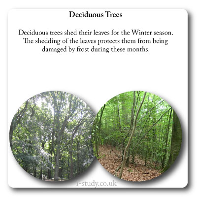 temperate forests deciduous trees