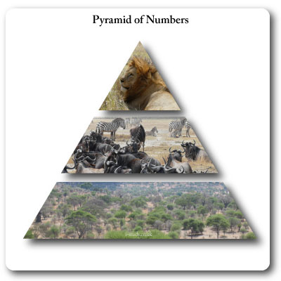 Pyramid of numbers, ecosystems